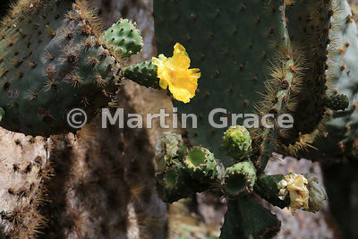 Giant Prickly Pear Cactus (Opuntia echios var gigantea), Santa Cruz, Galapagos Islands