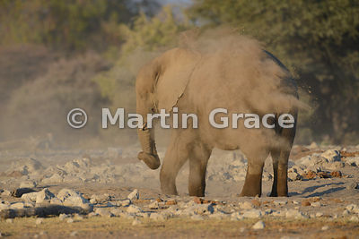 African Elephant (Loxodonta africana) dust-bathing, Etosha National Park, Namibia: Image 4 of 5
