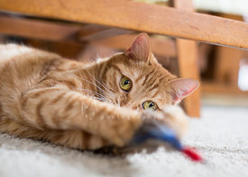 orange cat playing with feather toy indoors