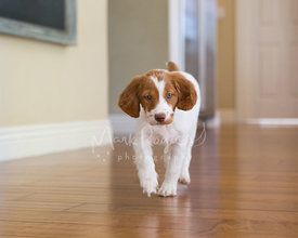 Cute spaniel puppy walking across floor