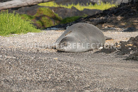 hawaiian_monk_seal_big_island_02062015-48