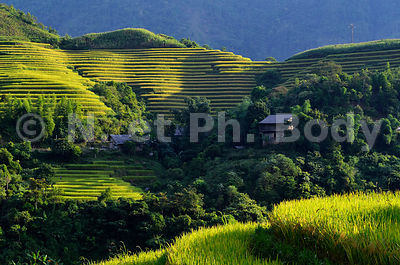 VIETNAM, HA GIANG, RIZIERES//Vietnam, Ha Giang, Rice Fileds In Terraces,