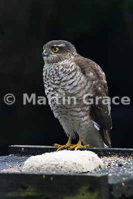 Eurasian Sparrowhawk (Accipiter nisus) waiting optimistically on a bird table, Lyth Valley, Cumbria, England: Image 1 of 4
