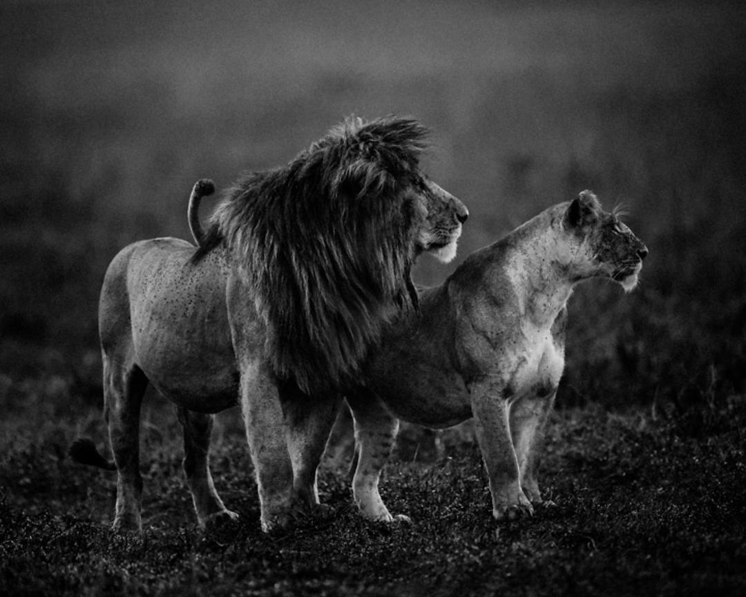 6843-Scarface_and_a_lioness_Kenya_2015_Laurent_Baheux