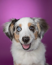 Mini-Aussie Shepherd Puppy Smiling Against Purple Studio Background