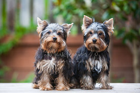 Two Longhaired Yorkies Sitting Side By Side Outdoors