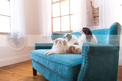 three small longhaired dogs on blue settee by windows indoors