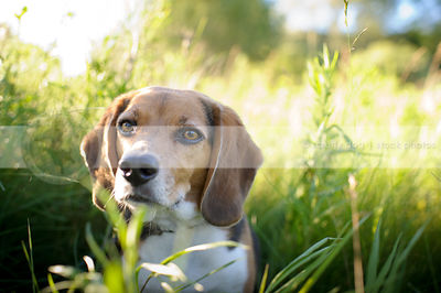 headshot of tricolor beagle dog hiding in summer grasses