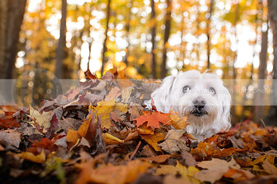 little white expressive dog lying in autumn leaves