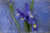 Purple Iris, Flower Botanical Gallery
