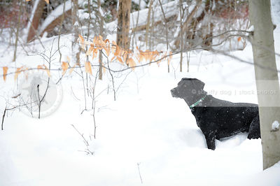 black dog standing in deep snow in wintry forest