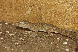 Gekko species