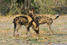 Wild Dogs Territorial marking