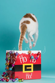 White and Orange Cat Jumping up In Air from Holiday Box