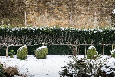 Snowy hens clipped from Lonicera nitida 'Baggesen's Gold', with trained fruit tree and box hedge behind. Yews Farm, Martock, Somerset, UK