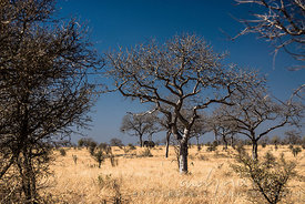 Single elephant standing alone under a leafless tree flat, dry bush veld