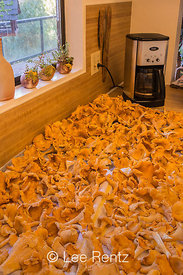 Yellow Chanterelle Bumper Crop on the Olympic Peninsula
