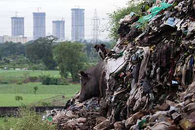 A pig and a stray at the Dhapa dumping ground, the main landfill for Kolkata's 13 million people, Dhapa, Kolkata, India. Dhapa is a large industrial zone that processes most of Kolkata's garbage and recycling.