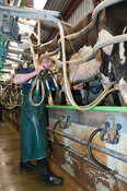 Farmer putting milking units on a dairy cow in a milking parlour, Cumbria, UK.