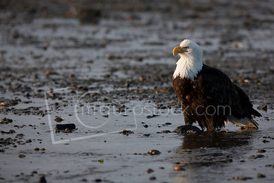Bald Eagle_MG_0650