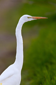 Great Egret, Colusa National Wildlife Refuge #3