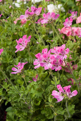 Pelargonium 'Capricorn'. Clovelly Court, Bideford, Devon, UK
