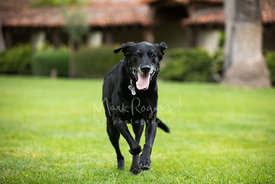 Senior black labrador running on grassy field with tongue out