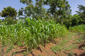 Mid stage maize crop on a smallholding, Kenya.