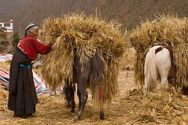 Horses carrying hay