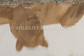 lioness_reflection
