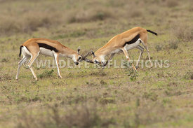 thomsons_gazelle_battle_38