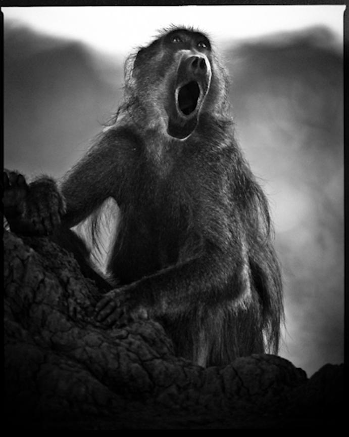 7589-Baboon_portrait_Laurent_Baheux