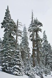 Subalpine forest during a snowstorm on Hurricane Ridge, Olympic National Park, Olympic Peninsula, Washington, USA, March, 2009_WA_8138