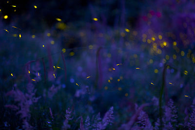 Italy, Tuscany, View of fireflies in meadow at night