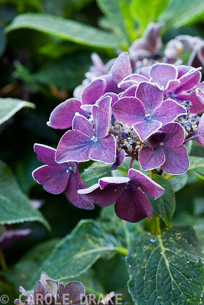Frosted hydrangea flowers. Exbury Gardens, Exbury, Hants, UK