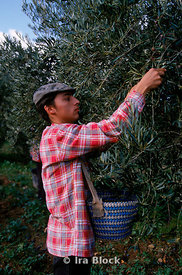 young man picking olives