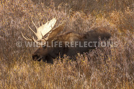 moose_willow_chew