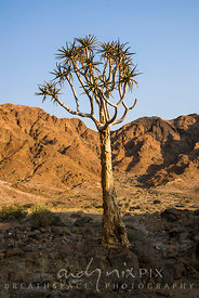 Quiver tree in a dry river valley