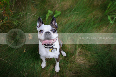 happy boston terrier dog staring from grasses