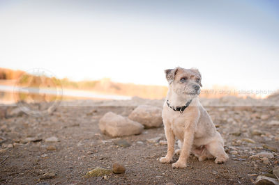 small blond terrier dog sitting alone on beach