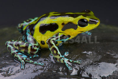 "Strawberry dart frog / Oophaga pumilio ""Guarumo"" photos"