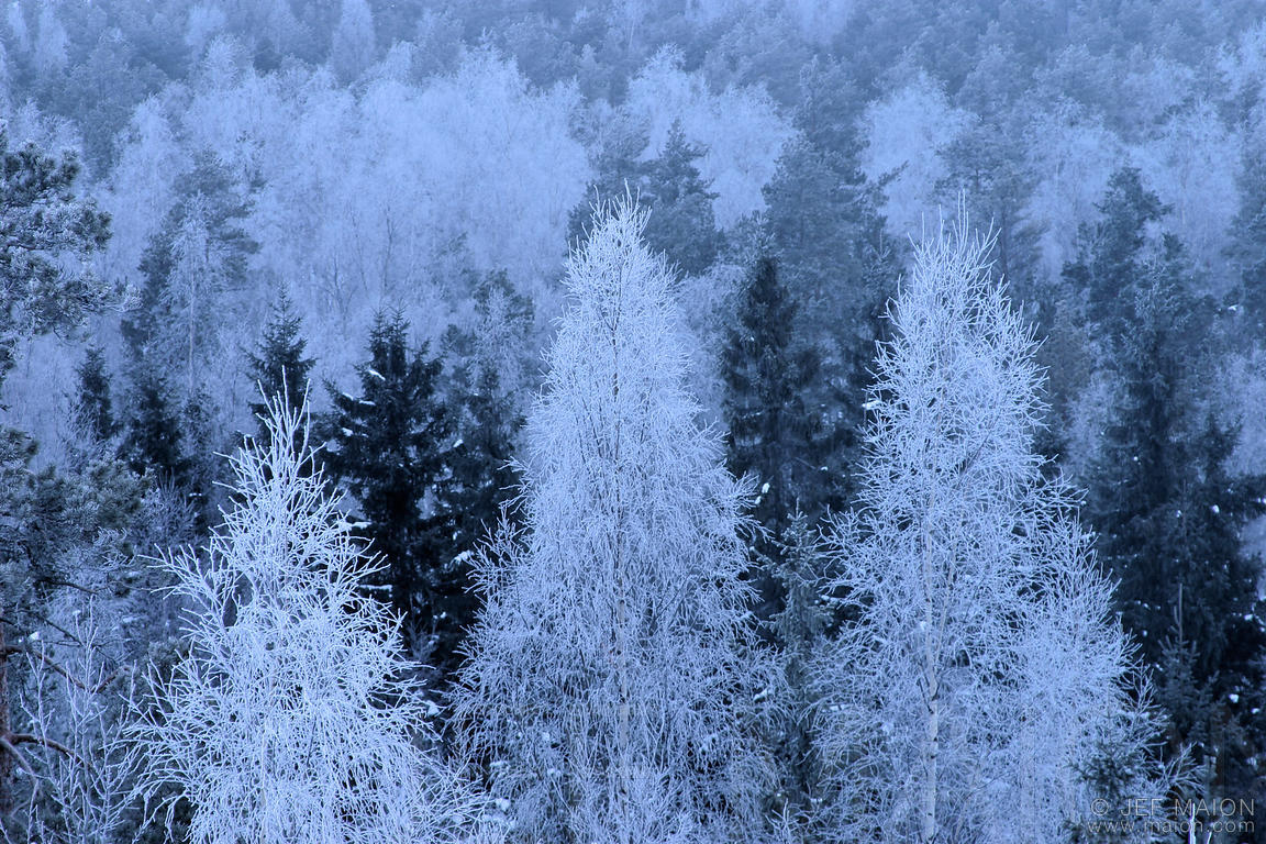 Frosted trees at daybreak