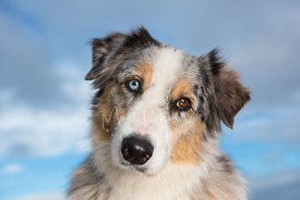 Australian Shepherd Dog Head Tilted Against Sky
