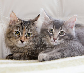 Brown and Grey Maine Coon Kittens on White Leather Chair