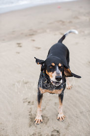 Bluetick Coonhound Standing on Beach with funny expression