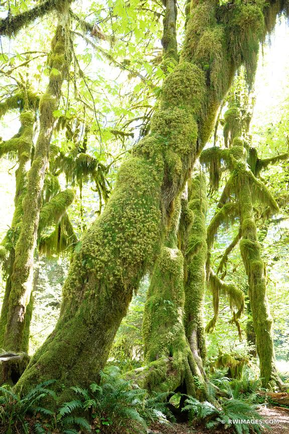 HOH RAINFOREST OLYMPIC NATIONAL PARK VERTICAL COLOR