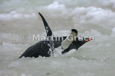 Gentoo Penguin (Pygoscelis papua) bathing in meltwater slush pool, Petermann Island, Antarctic Peninsula