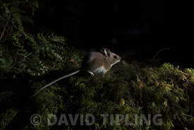 Wood Mouse Apodemus sylvaticus Kettlestone Norfolk autumn (take in wild with camera trao)
