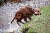 Irish setter with stick climbing out river