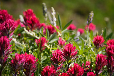 Rosy (or Magenta) Paintbrush, (Castilleja parviflora var. oreopola), Mount Rainier National Park, Washington